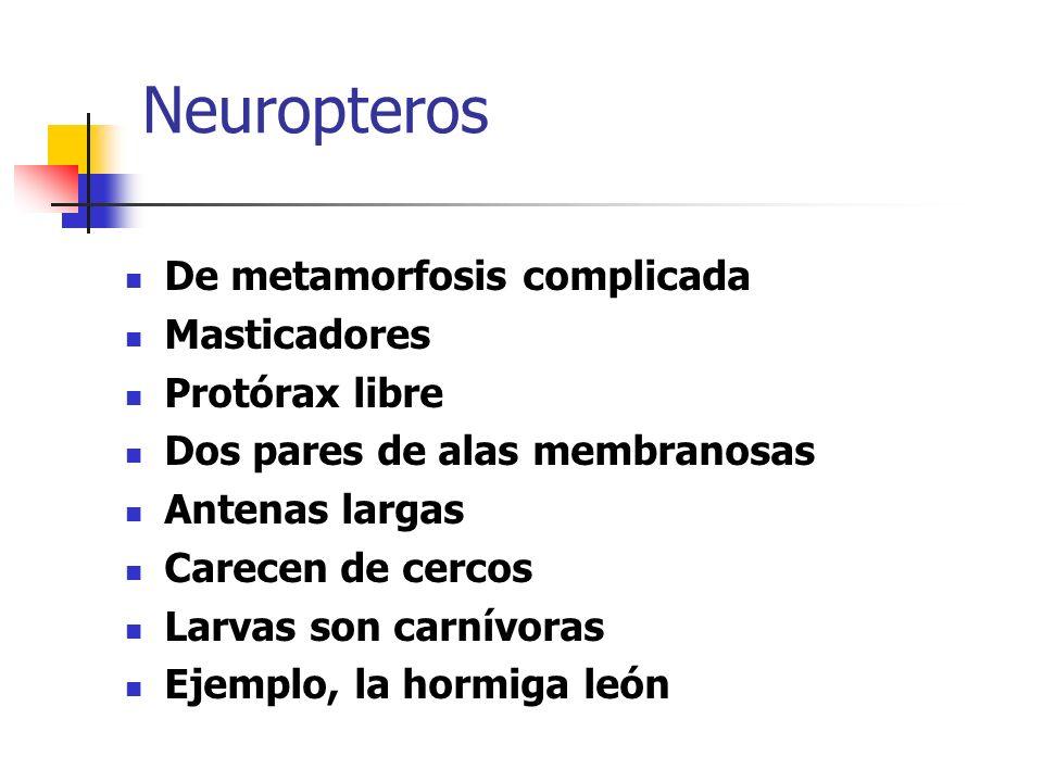 Neuropteros De metamorfosis complicada Masticadores Protórax libre