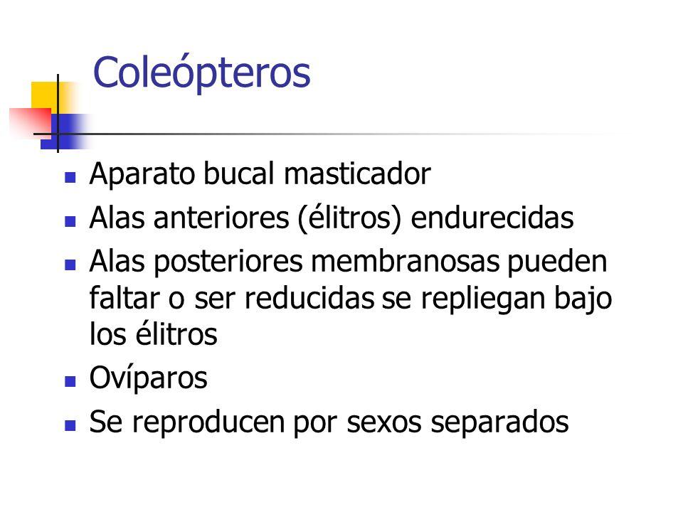 Coleópteros Aparato bucal masticador