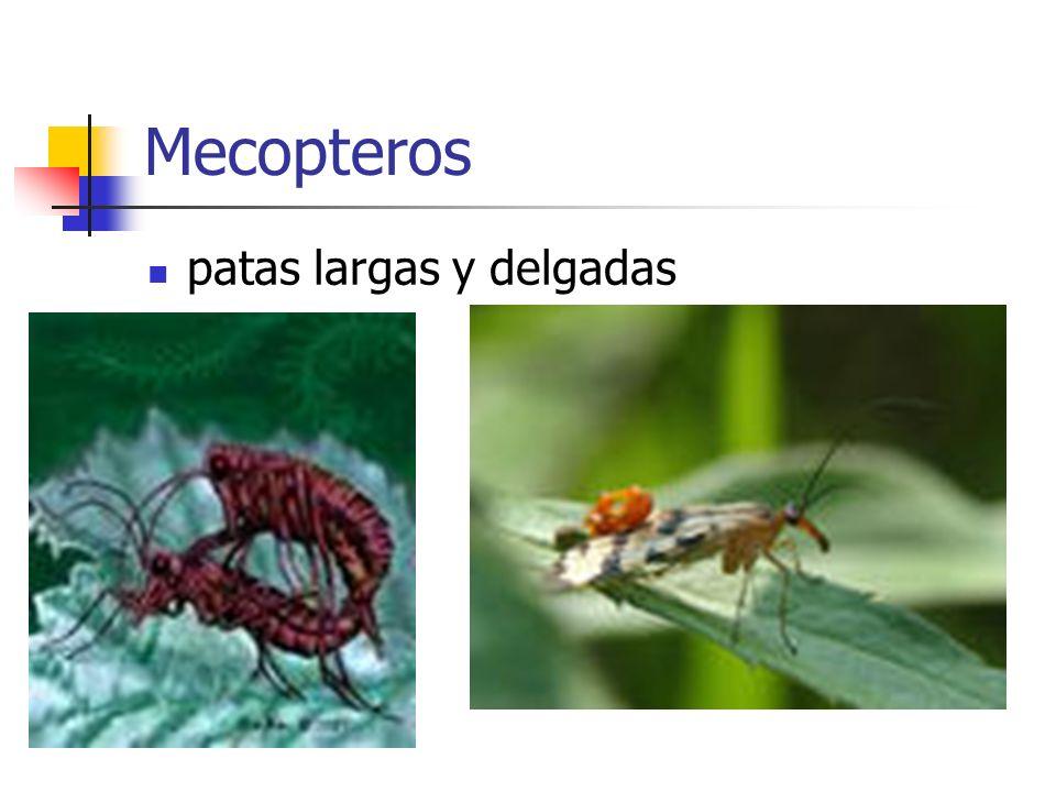 Mecopteros patas largas y delgadas