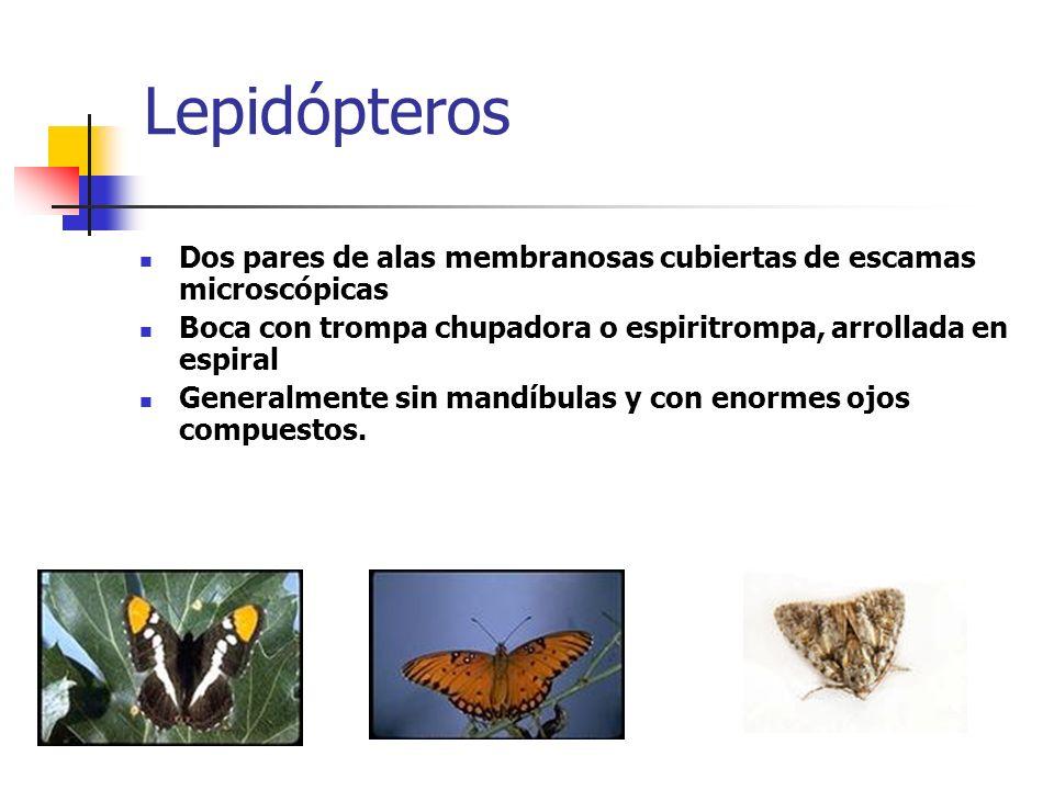 Lepidópteros Dos pares de alas membranosas cubiertas de escamas microscópicas. Boca con trompa chupadora o espiritrompa, arrollada en espiral.