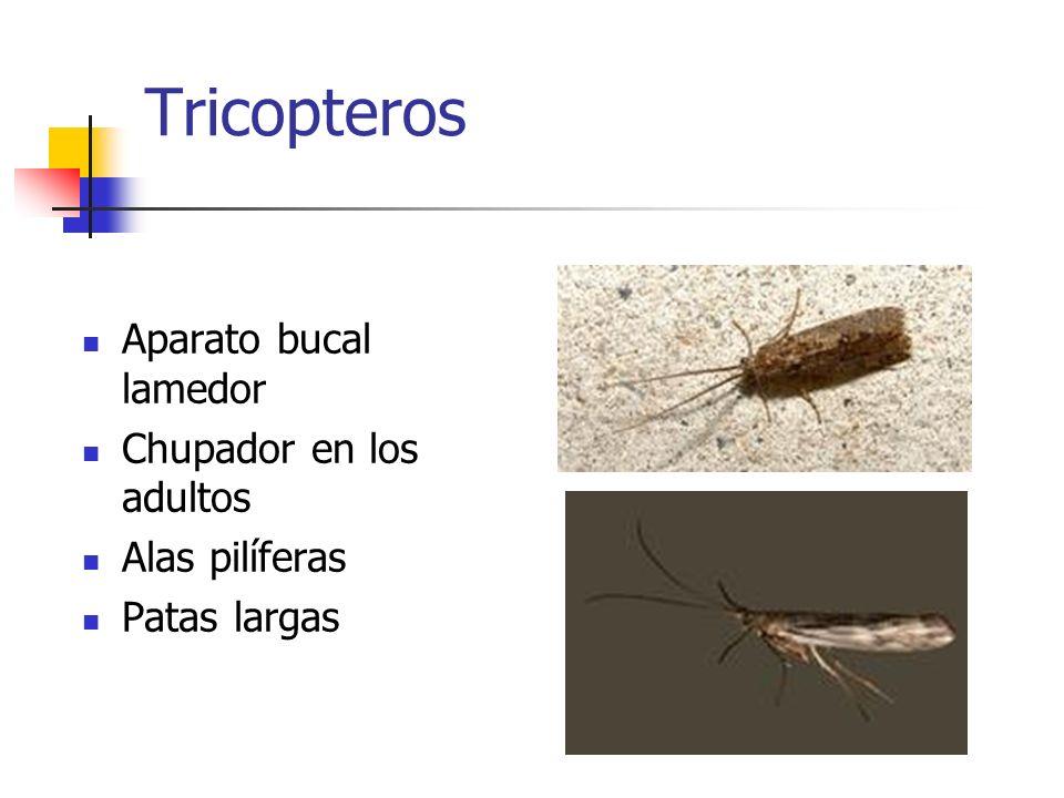 Tricopteros Aparato bucal lamedor Chupador en los adultos