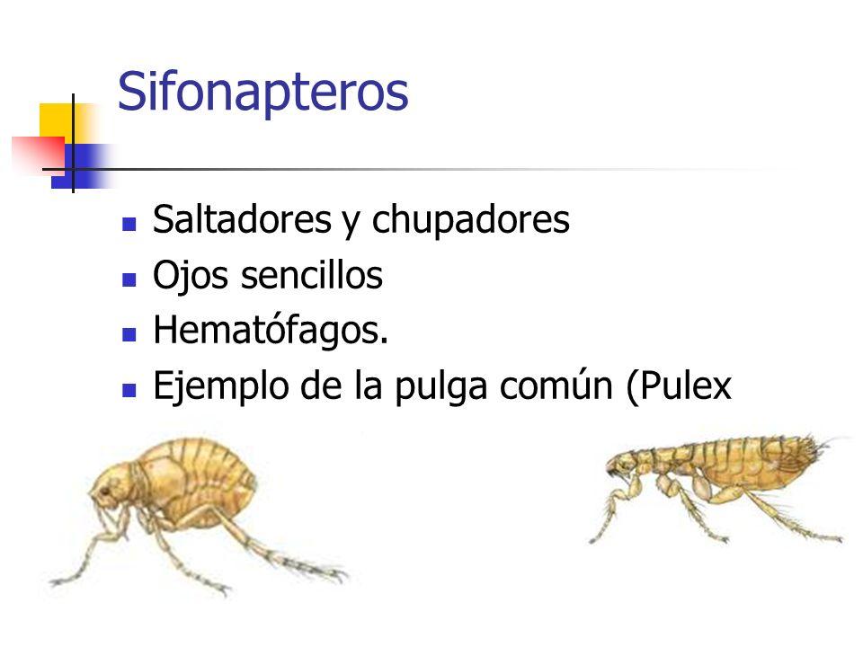 Sifonapteros Saltadores y chupadores Ojos sencillos Hematófagos.