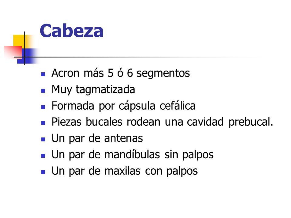 Cabeza Acron más 5 ó 6 segmentos Muy tagmatizada