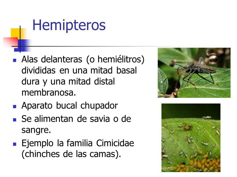 Hemipteros Alas delanteras (o hemiélitros) divididas en una mitad basal dura y una mitad distal membranosa.