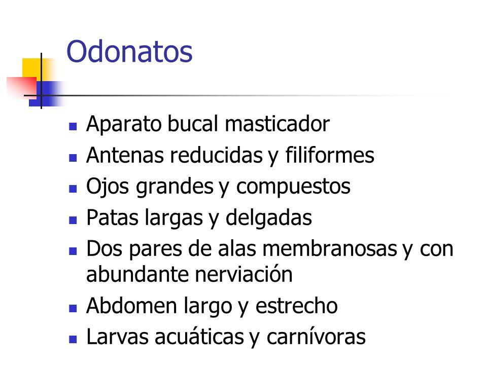 Odonatos Aparato bucal masticador Antenas reducidas y filiformes