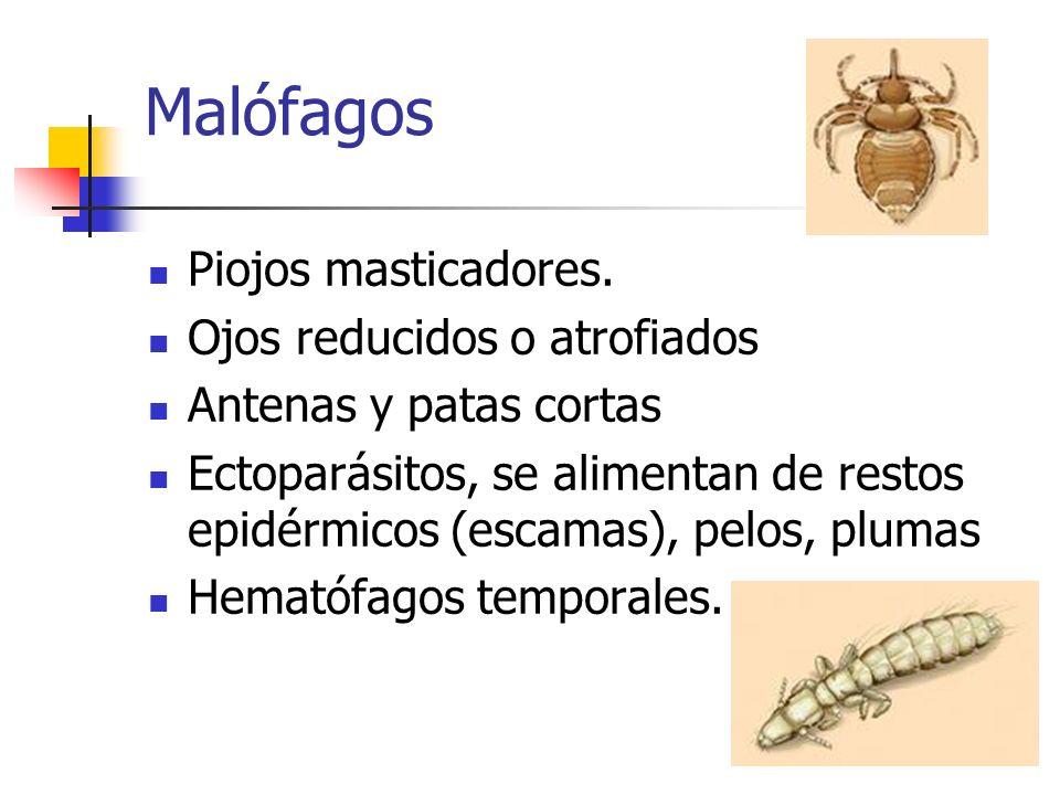 Malófagos Piojos masticadores. Ojos reducidos o atrofiados