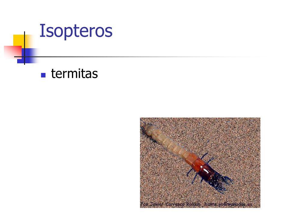 Isopteros termitas