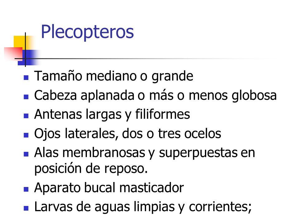 Plecopteros Tamaño mediano o grande