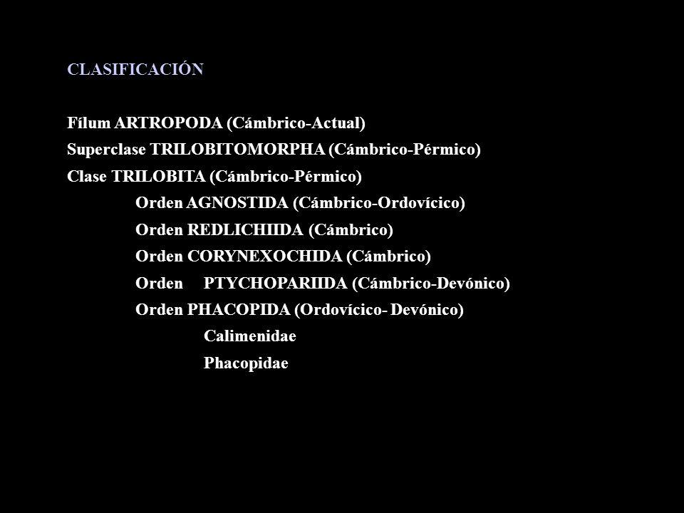 CLASIFICACIÓN Fílum ARTROPODA (Cámbrico-Actual) Superclase TRILOBITOMORPHA (Cámbrico-Pérmico) Clase TRILOBITA (Cámbrico-Pérmico)