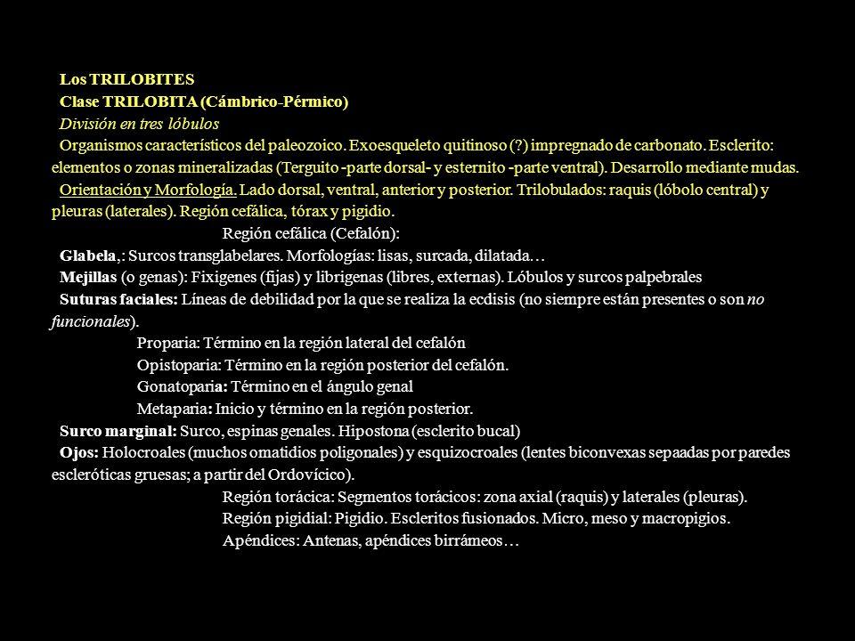 Los TRILOBITES Clase TRILOBITA (Cámbrico-Pérmico) División en tres lóbulos.