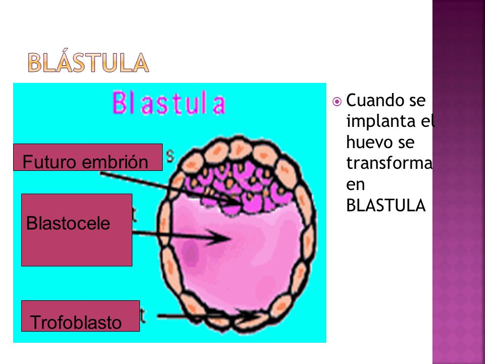 Blástula Futuro embrión Blastocele Trofoblasto