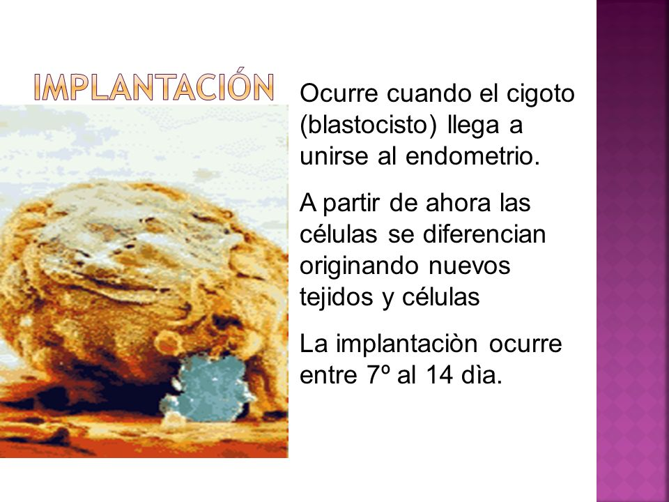 Implantación Ocurre cuando el cigoto (blastocisto) llega a unirse al endometrio.