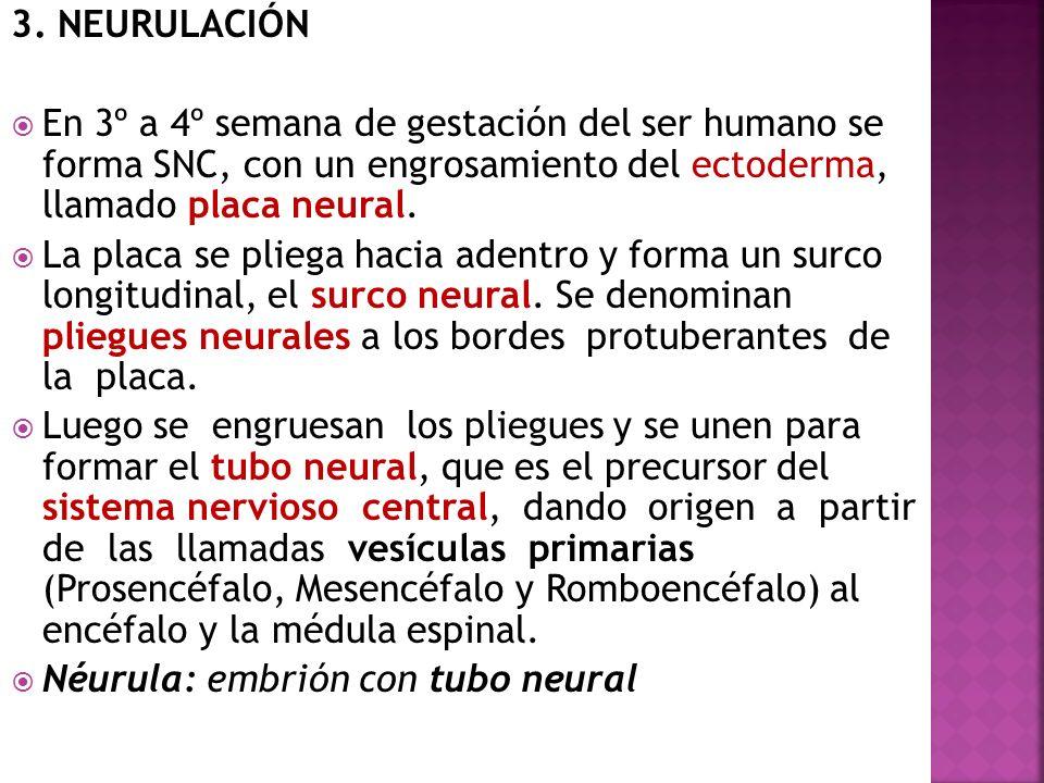 3. NEURULACIÓN En 3º a 4º semana de gestación del ser humano se forma SNC, con un engrosamiento del ectoderma, llamado placa neural.