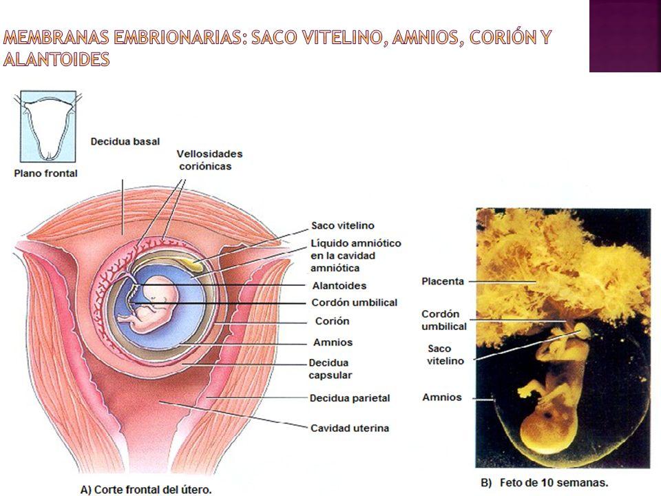 Membranas embrionarias: saco vitelino, amnios, corión y alantoides
