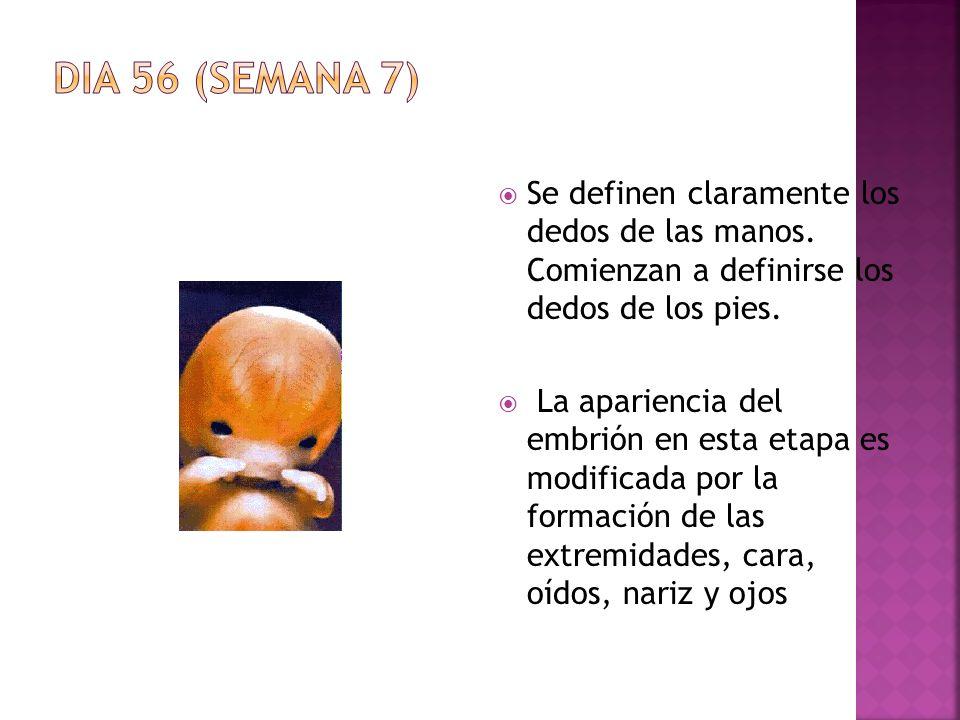 DIA 56 (SEMANA 7) Se definen claramente los dedos de las manos. Comienzan a definirse los dedos de los pies.