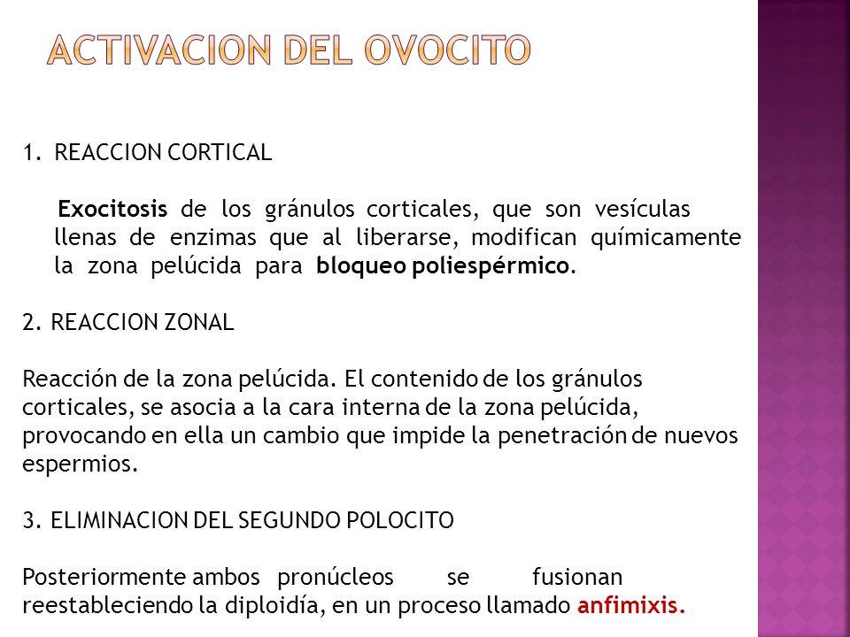 ACTIVACION DEL OVOCITO