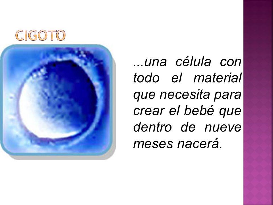 CIGOTO ...una célula con todo el material que necesita para crear el bebé que dentro de nueve meses nacerá.