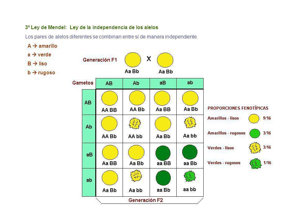 3ª Ley de Mendel: Ley de la independencia de los alelos