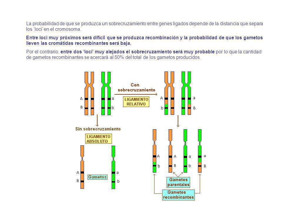 La probabilidad de que se produzca un sobrecruzamiento entre genes ligados depende de la distancia que separa los 'loci' en el cromosoma.