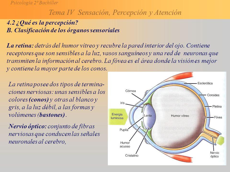 4.2 ¿Qué es la percepción B. Clasificación de los órganos sensoriales.