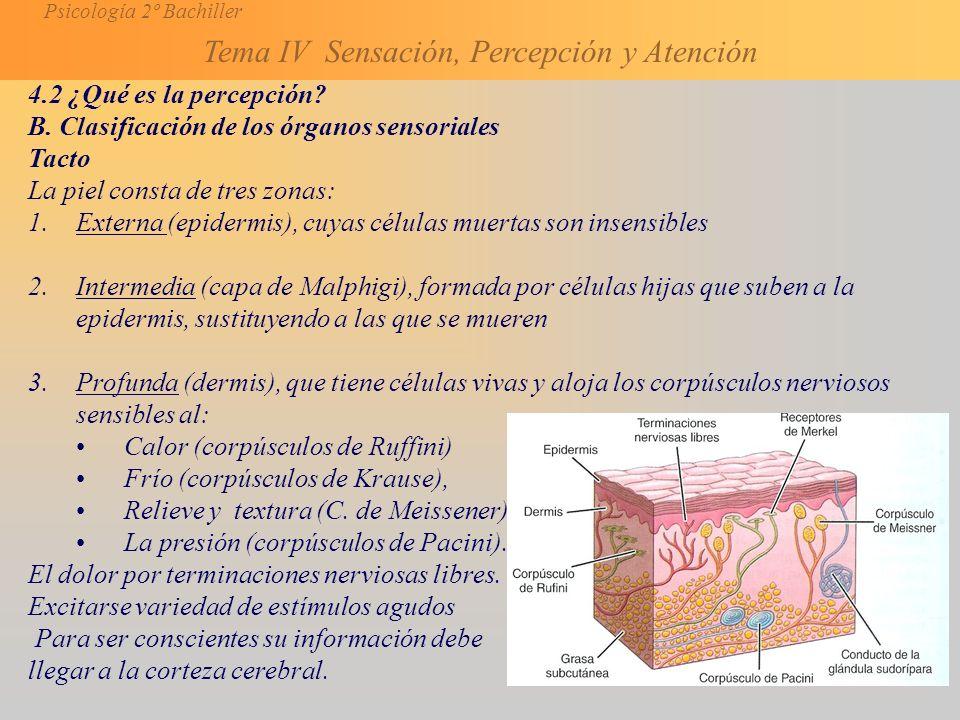 4.2 ¿Qué es la percepción B. Clasificación de los órganos sensoriales. Tacto. La piel consta de tres zonas: