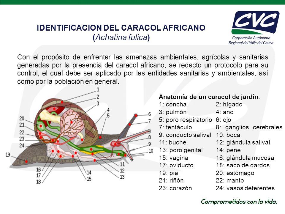 IDENTIFICACION DEL CARACOL AFRICANO (Achatina fulica)