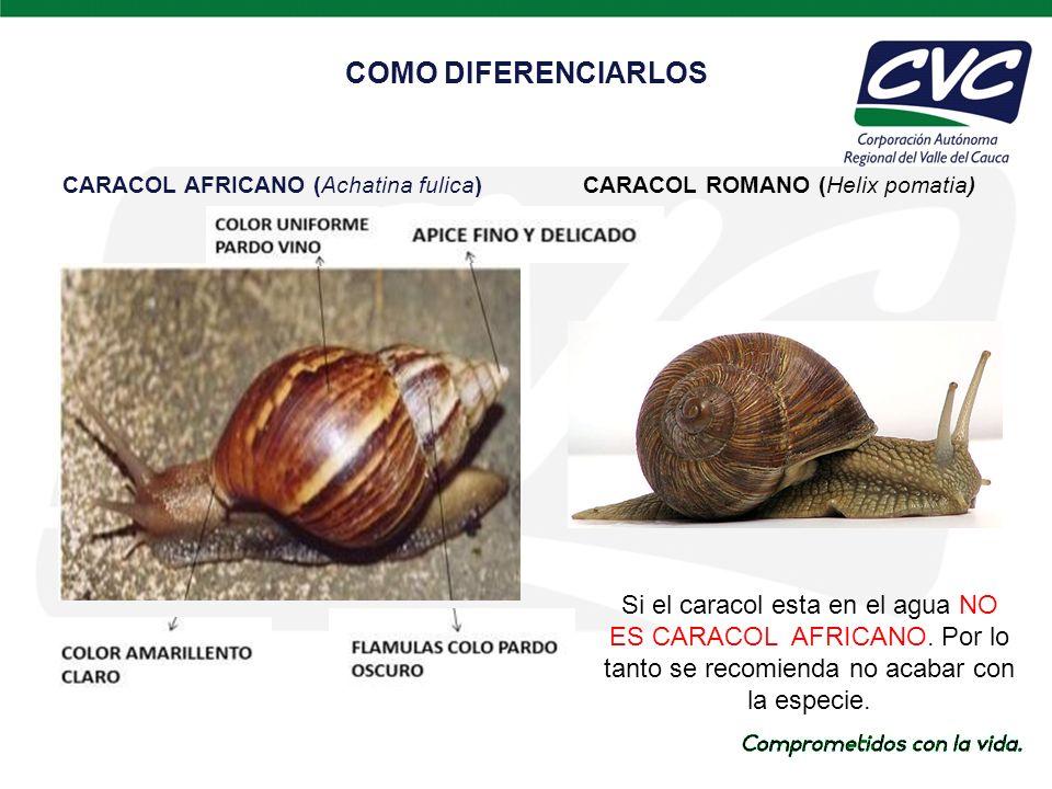 COMO DIFERENCIARLOS CARACOL AFRICANO (Achatina fulica) CARACOL ROMANO (Helix pomatia)