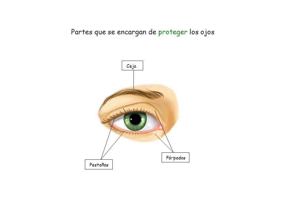 Partes que se encargan de proteger los ojos