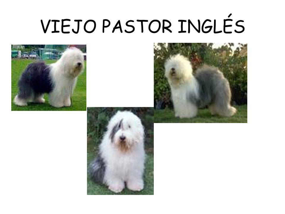 VIEJO PASTOR INGLÉS