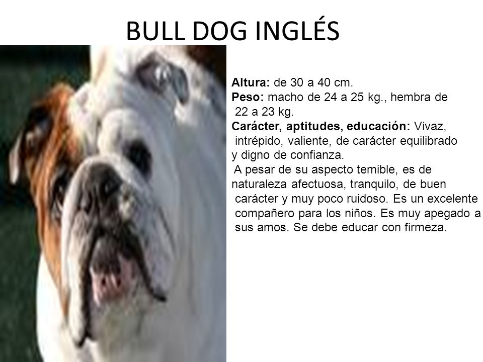 BULL DOG INGLÉS Altura: de 30 a 40 cm.