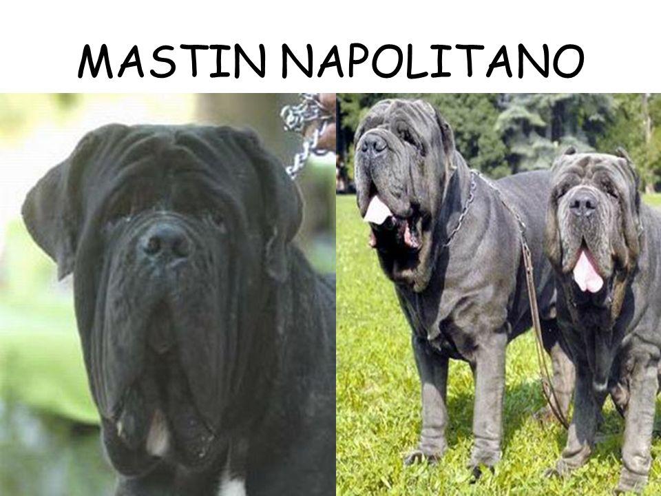 MASTIN NAPOLITANO