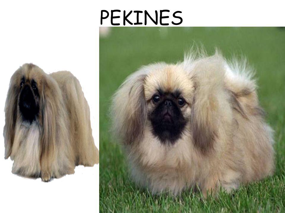 PEKINES