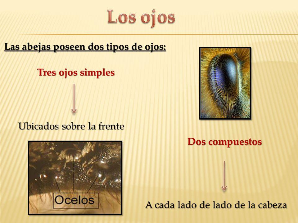 Los ojos Las abejas poseen dos tipos de ojos: Tres ojos simples