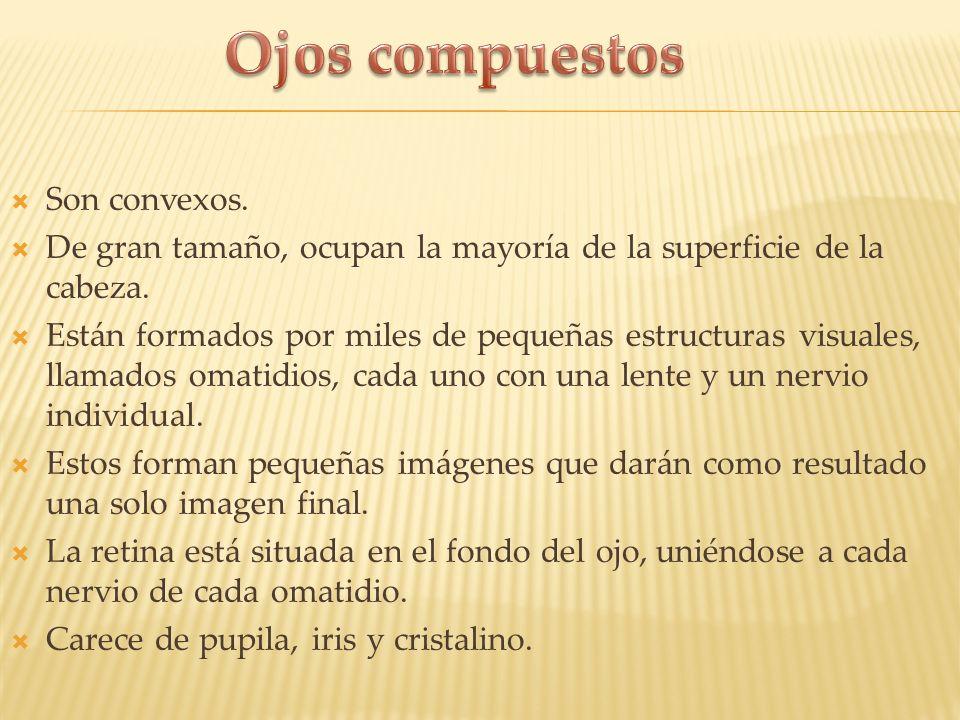 Ojos compuestos Son convexos.