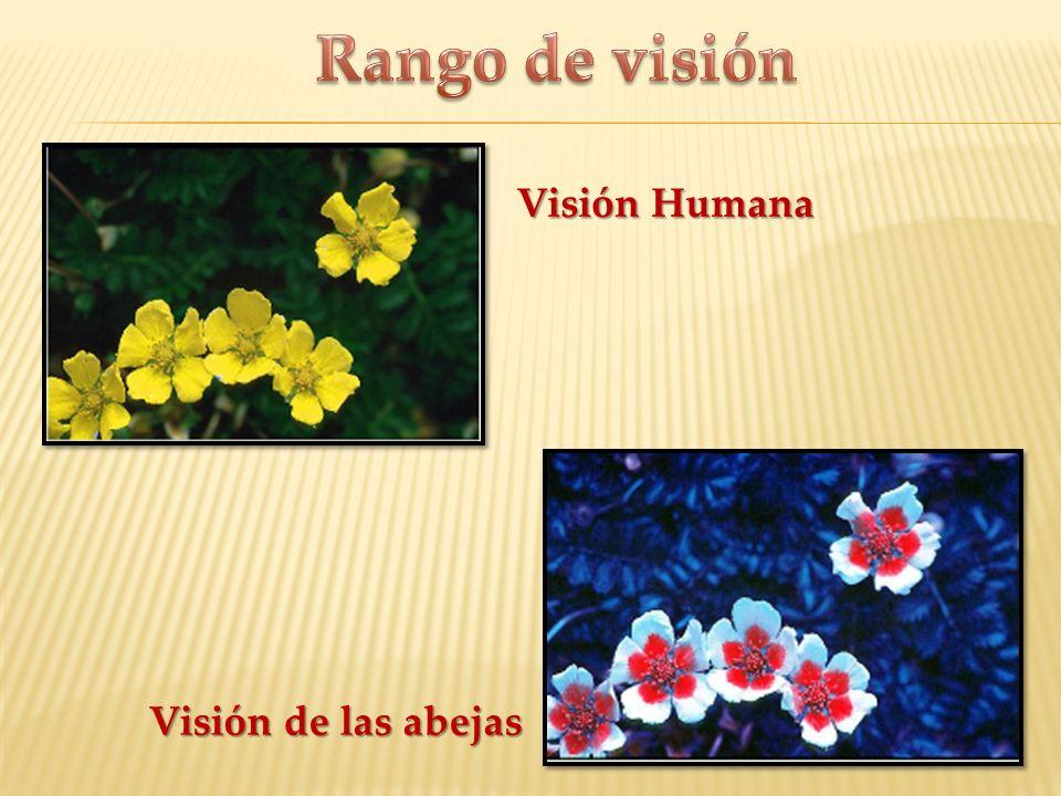 Rango de visión Visión Humana Visión de las abejas