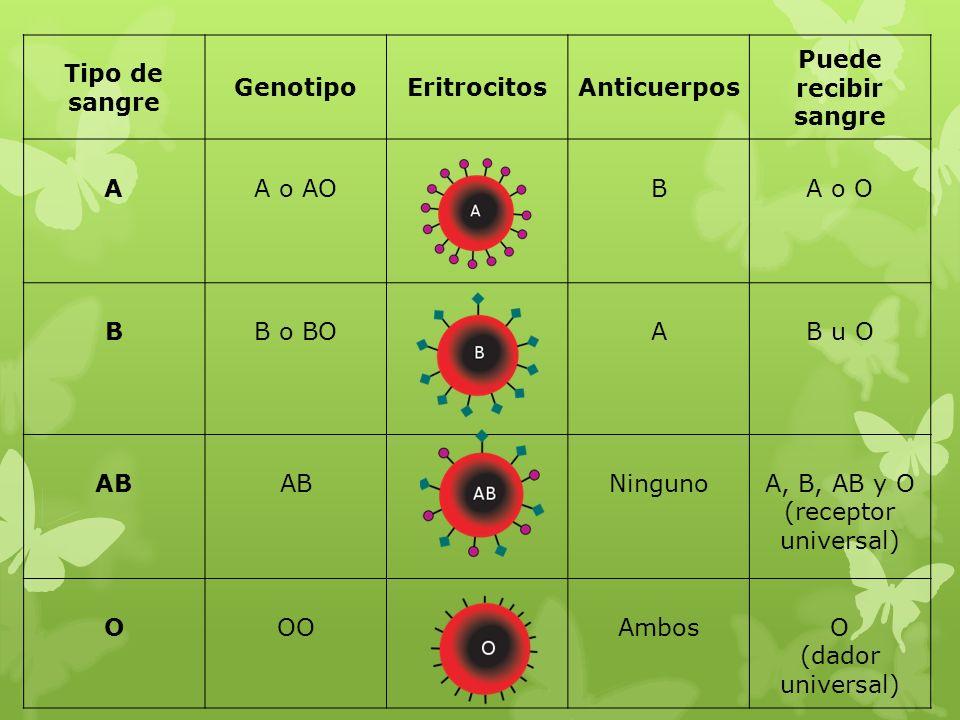 Tipo de sangre Genotipo. Eritrocitos. Anticuerpos. Puede recibir sangre. A. A o AO. B. A o O.