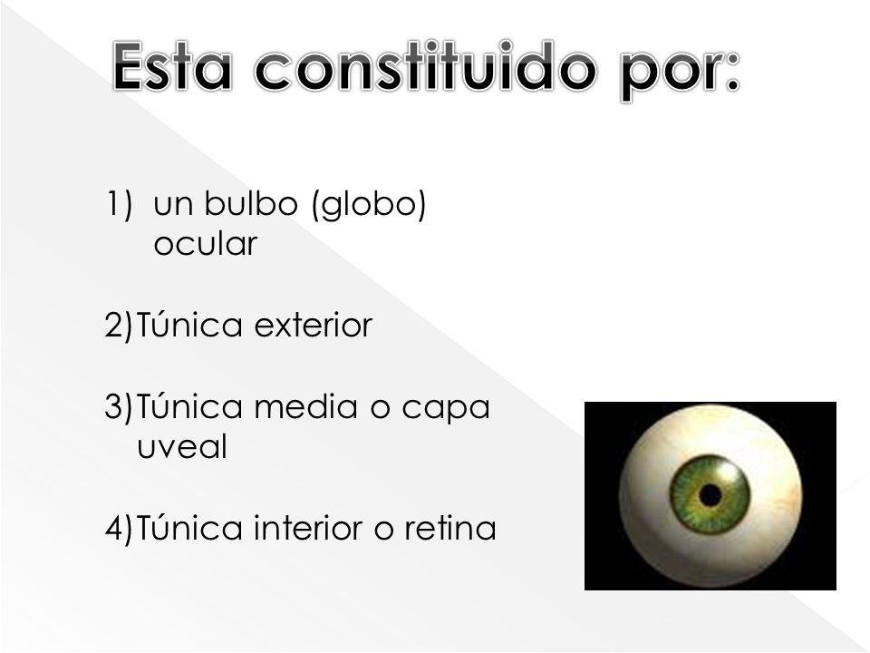 Esta constituido por: un bulbo (globo) ocular Túnica exterior