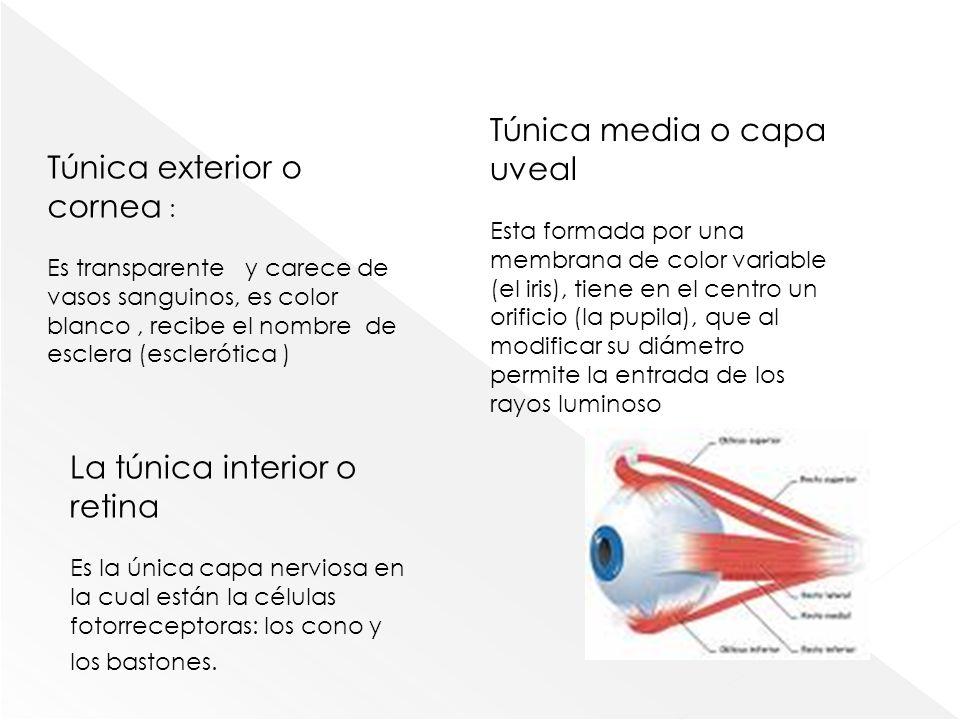 Túnica media o capa uveal Túnica exterior o cornea :