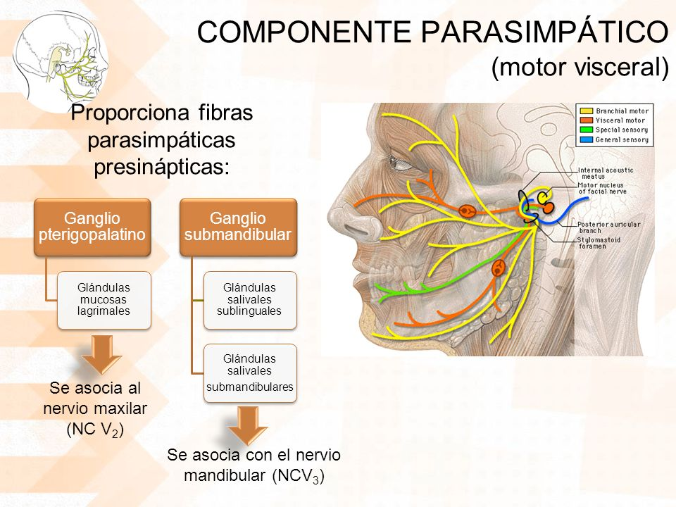 COMPONENTE PARASIMPÁTICO (motor visceral)