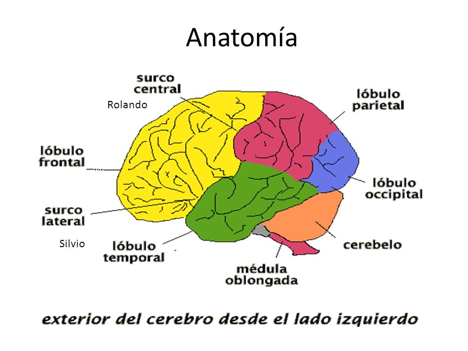 Anatomía Rolando Silvio