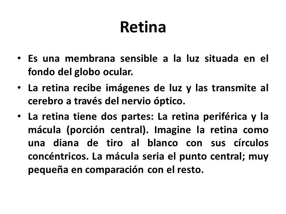 Retina Es una membrana sensible a la luz situada en el fondo del globo ocular.