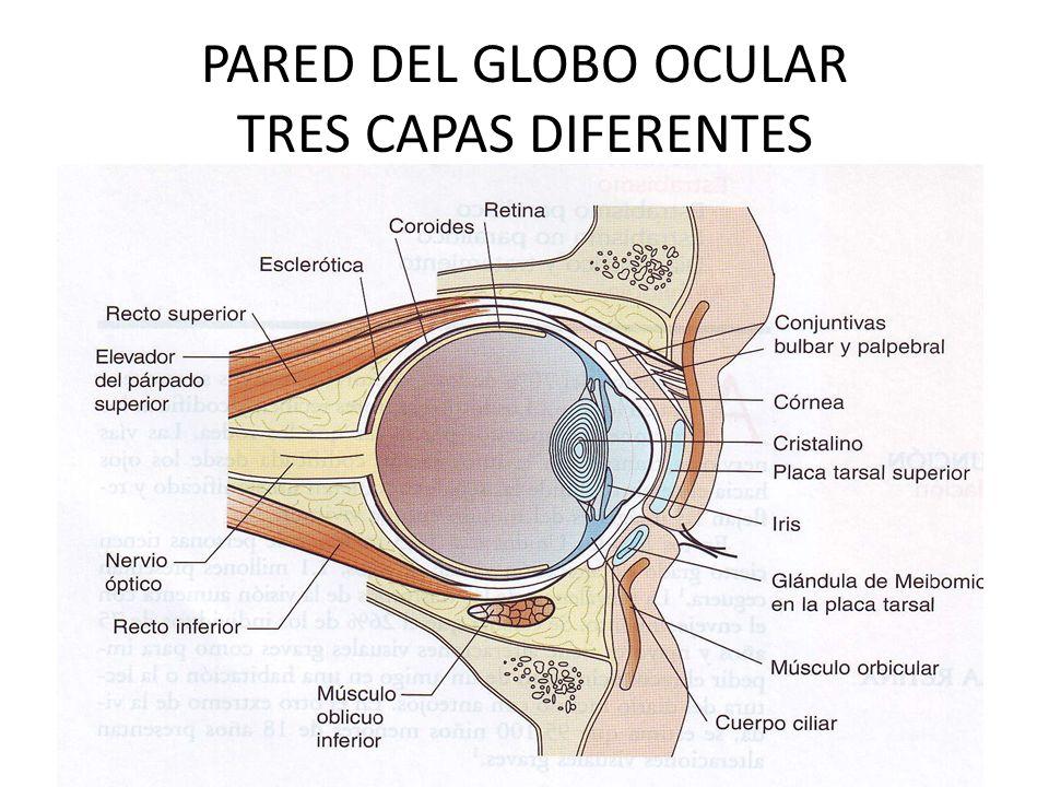 PARED DEL GLOBO OCULAR TRES CAPAS DIFERENTES