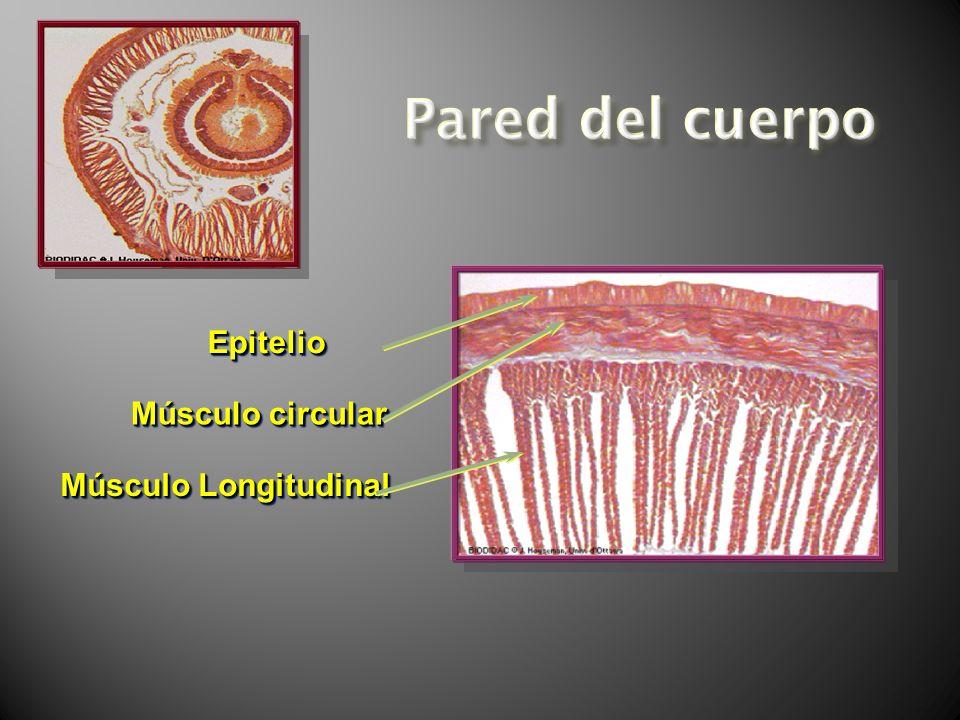 Pared del cuerpo Epitelio Músculo circular Músculo Longitudinal