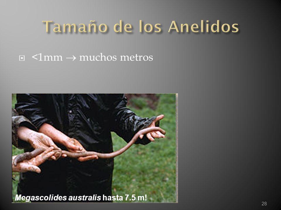 Tamaño de los Anelidos <1mm  muchos metros