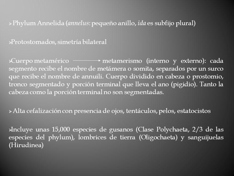 Phylum Annelida (annelus: pequeño anillo, ida es subfijo plural)
