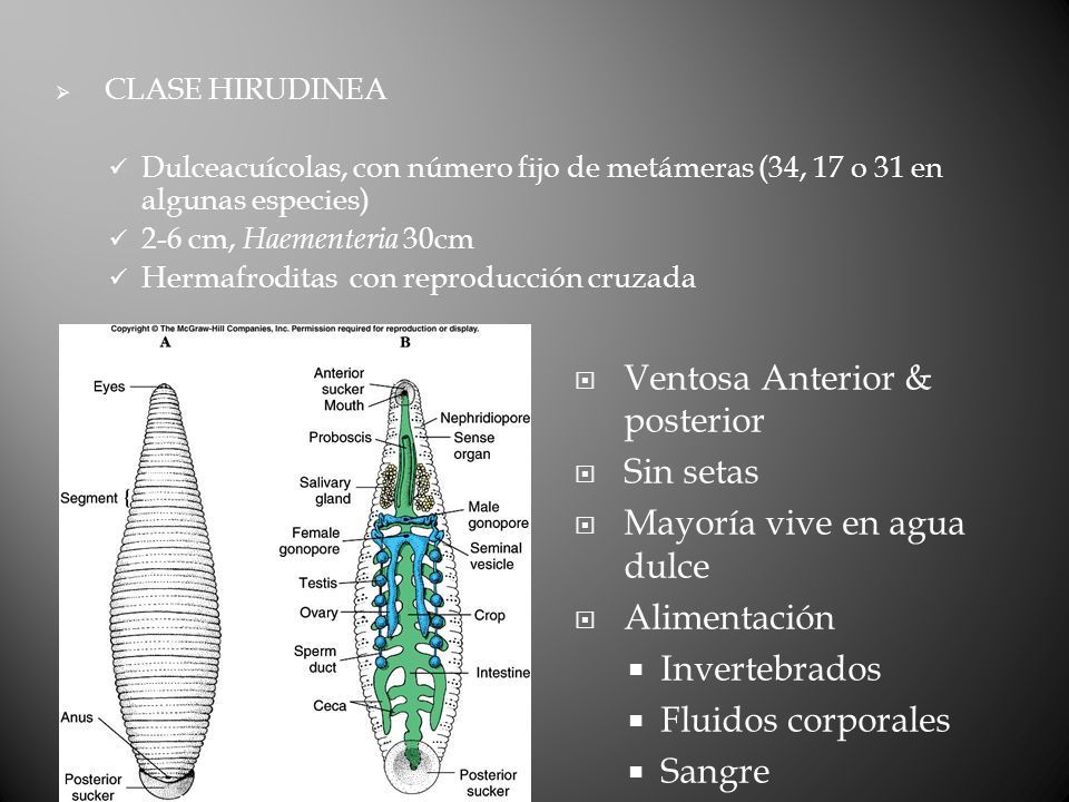 Ventosa Anterior & posterior Sin setas Mayoría vive en agua dulce