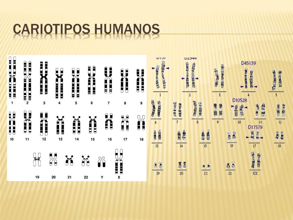 Cariotipos humanos