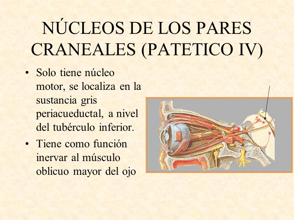 NÚCLEOS DE LOS PARES CRANEALES (PATETICO IV)