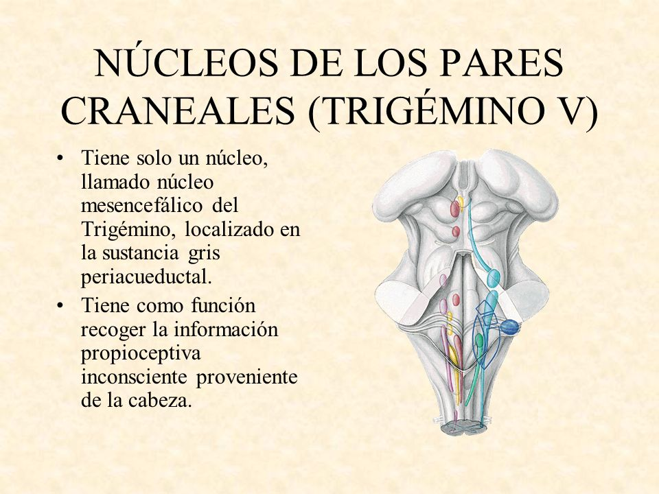 NÚCLEOS DE LOS PARES CRANEALES (TRIGÉMINO V)