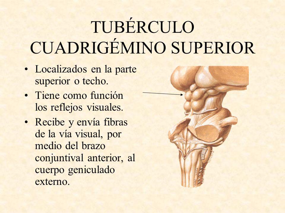 TUBÉRCULO CUADRIGÉMINO SUPERIOR